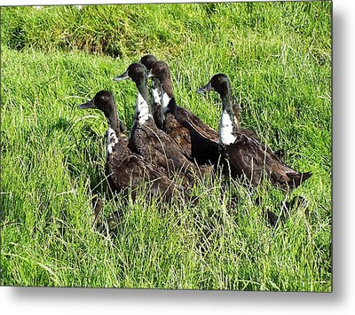 Shetland Ducks Metal Print by George Leask