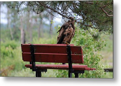 Sitting Eagle Metal Print by Whispering Feather Gallery