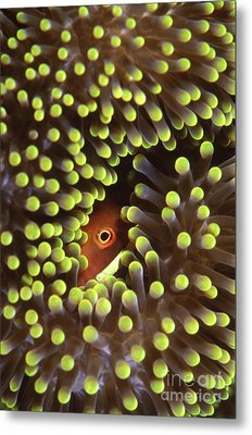 Skunk Clownfish Hiding In Anemone Metal Print by Beverly Factor