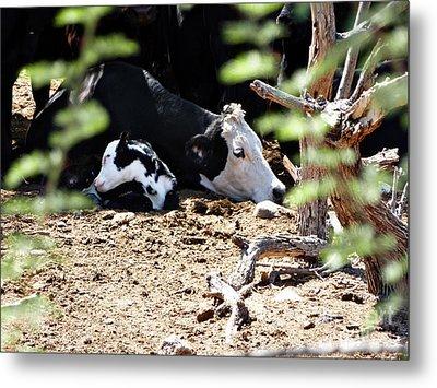 Sleepy Arizona Cows Metal Print by Methune Hively