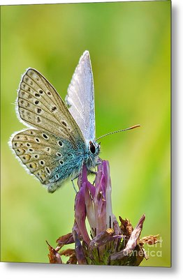 Little Butterfly Metal Print by Angela Doelling AD DESIGN Photo and PhotoArt