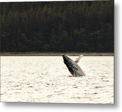 Small Breaching Whale Metal Print by Darcy Michaelchuk