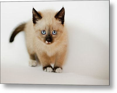 Small Cat Metal Print by A. Aleksandravicius
