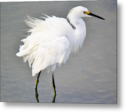Snowy Egret All Fluffed Up Metal Print by Paulette Thomas