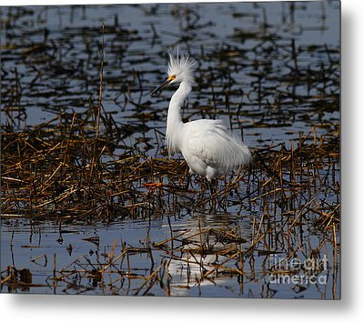 Snowy Egret . Solitude . 7d11963 Metal Print by Wingsdomain Art and Photography
