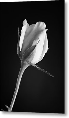 Soft Rose Black And White Metal Print by M K  Miller