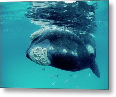 Southern Right Whale Eubalaena Metal Print by Mike Parry