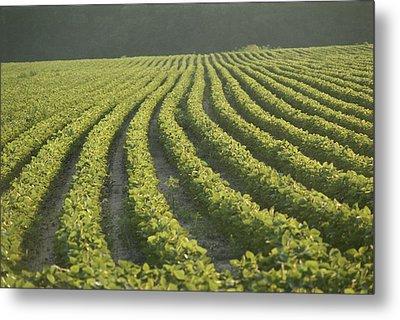 Soybean Crop Ready To Harvest Metal Print by Brian Gordon Green