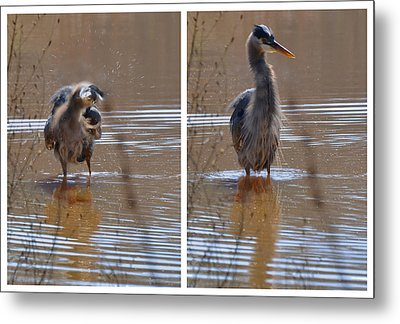 Spin And Fluff Dry Heron - C3219d Metal Print by Paul Lyndon Phillips