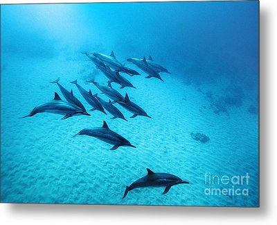 Spinner Dolphins Blue Metal Print by Monica and Michael Sweet