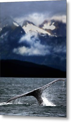 Splash From Tail Of Humpback Whale Metal Print by Richard Wear