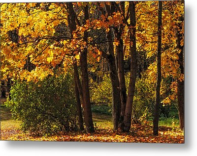Splendor Of Autumn. Maples In Golden Dresses Metal Print by Jenny Rainbow