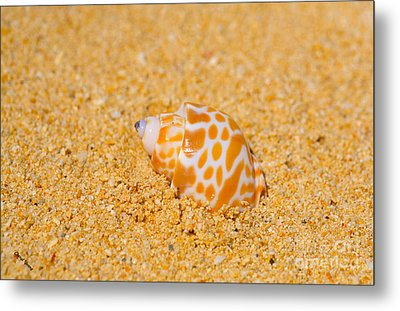 Spotted Babylon Shell Metal Print by Cheryl Young