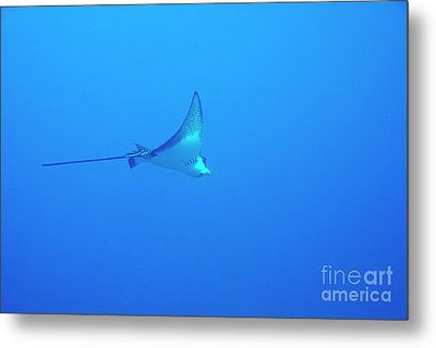 Spotted Eagle Ray Metal Print by Sami Sarkis