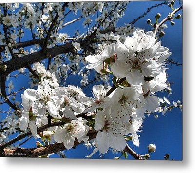 Spring Pear Blossoms 2012 Metal Print by Joyce Dickens
