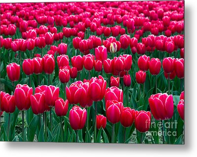 Spring Tulips Metal Print by David R Frazier and Photo Researchers