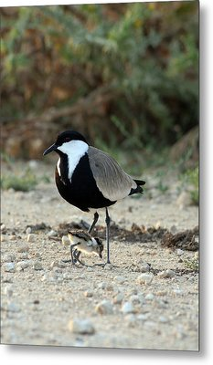 Spur-winged Plover And Chick Metal Print by Photostock-israel
