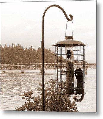 Squirrel In A Squirrel-proof Bird Feeder Metal Print by Tanya  Searcy
