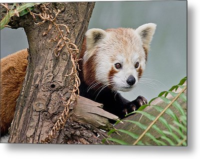 Stealthy Red Panda Metal Print by Greg Nyquist