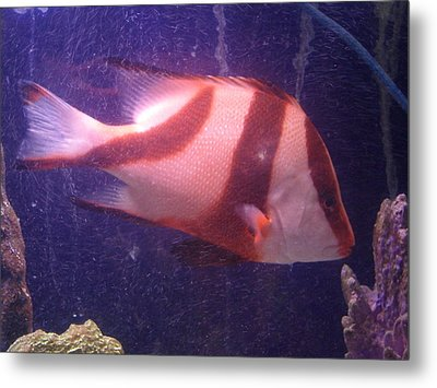 Striped Fish Metal Print by Val Oconnor