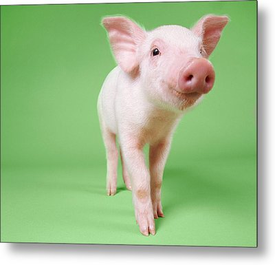 Studio Cut Out Of A Piglet Standing Metal Print by Digital Vision.