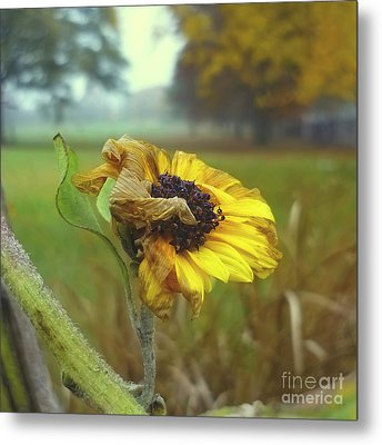 Sunflower At Summers End Metal Print by Jeff Breiman