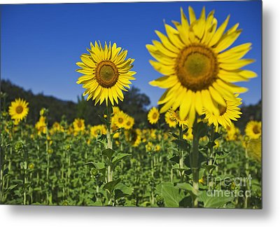 Sunflower Metal Print by Dennis Flaherty and Photo Researchers