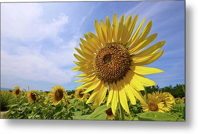 Sunflower In Summer Bloom Metal Print by Moonie's World