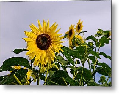 Sunflower In The Setting Sun Metal Print by Richard Bramante