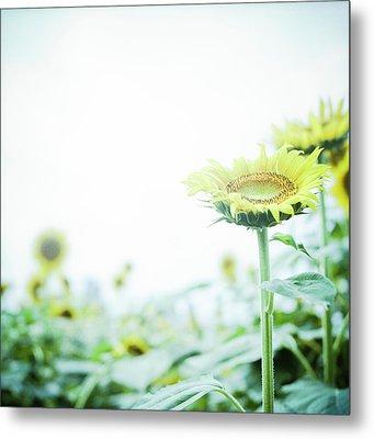 Sunflower Metal Print by Yoshika Sakai