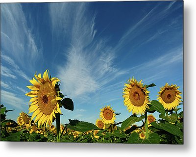 Sunflowers Metal Print by Robin Wilson Photography