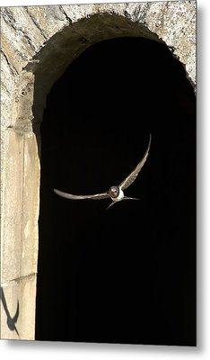 Swallow In Flight Metal Print by John Short