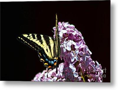 Swallowtail On Lilac 3 Metal Print by Mitch Shindelbower