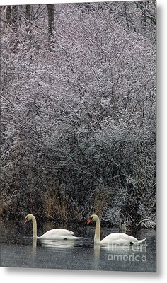 Swans At Mill Pond Yarmouth On Cape Cod Metal Print by Matt Suess