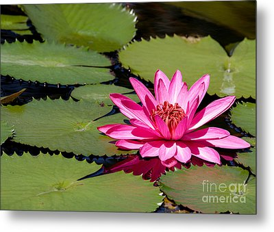 Sweet Pink Water Lily In The River Metal Print by Sabrina L Ryan