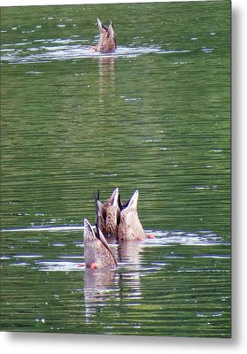 Synchronized Ducking Metal Print by Chris Anderson