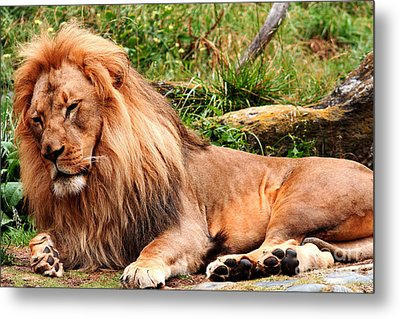 The Ancient Lion Metal Print by Wingsdomain Art and Photography