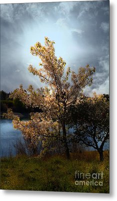 The Cherry Blossom Tree . 7d12703 Metal Print by Wingsdomain Art and Photography