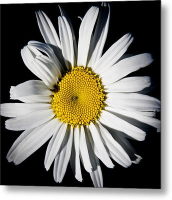 The Daisy Metal Print by David Patterson