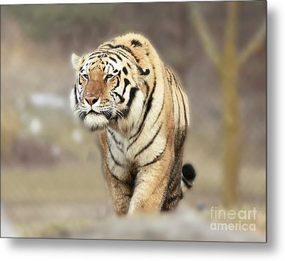 The Prowler Metal Print by Inspired Nature Photography Fine Art Photography