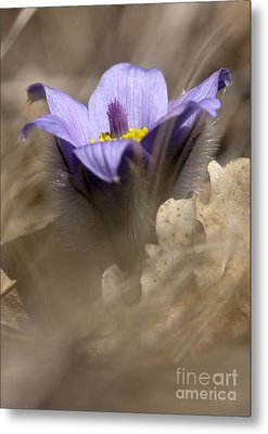 The Pulsatilla Metal Print by Odon Czintos
