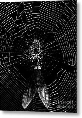 The Spider And The Fly . Black And White Metal Print by Wingsdomain Art and Photography