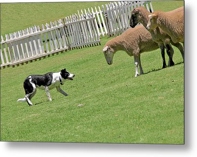 The Stare - Border Collie At Work Metal Print by Christine Till