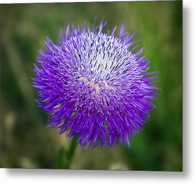 Thistle I Metal Print by Tamyra Ayles