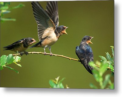Three Barn Swallow Fledglings Begging Metal Print by Darlyne A. Murawski