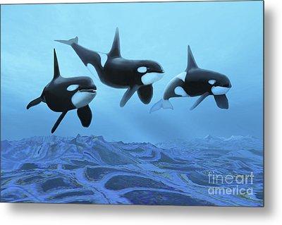 Three Male Killer Whales Swim Metal Print by Corey Ford