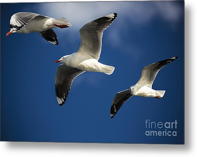 Three Silver Gulls Metal Print by Avalon Fine Art Photography