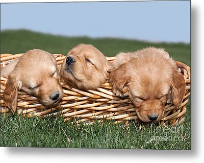 Three Sleeping Puppy Dogs In Basket Metal Print by Cindy Singleton