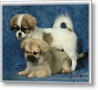 Tibetan Spaniel Pups 2  Metal Print by Maxine Bochnia