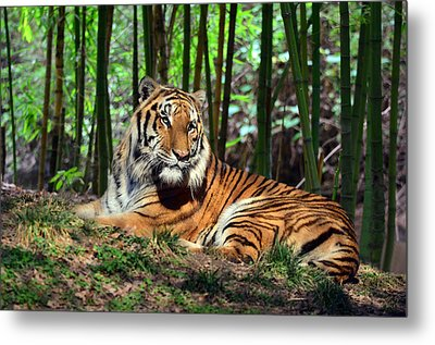 Tiger Rest And Bamboo Metal Print by Sandi OReilly